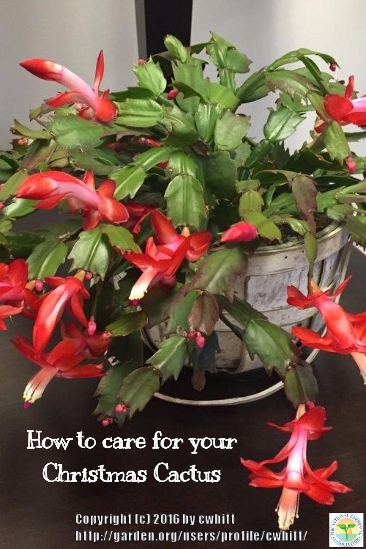 the 25 best christmas cactus ideas on pinterest propagating christmas cactus easter cactus. Black Bedroom Furniture Sets. Home Design Ideas