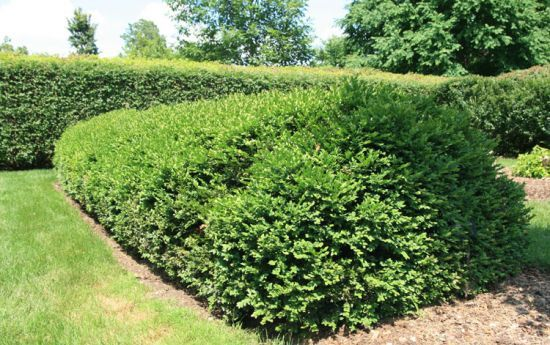 Low growing evergreen shrubs gardening landscaping for Garden information sites