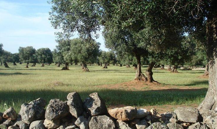 Oliveti secolari nel Parco Dune Costiere #unesco #ulivi