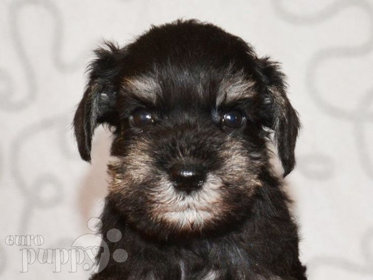 Puppies & Dogs for Sale from Europe - Puppy Finder | Euro Puppy