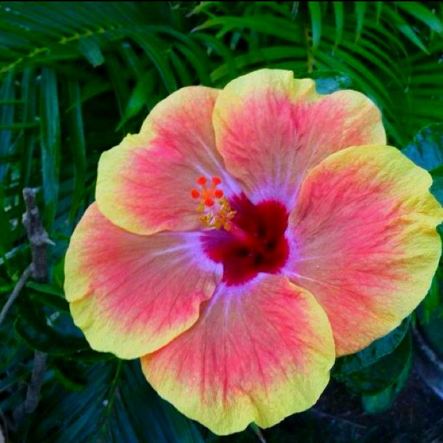 Hibiscus saving for tattoo colors