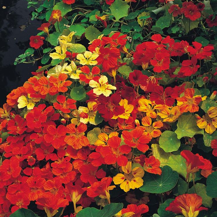 Nasturtium 'Climbing Mixed' - Half-hardy Annual Seeds - Thompson & Morgan