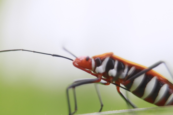 Red Cotton Bug 01