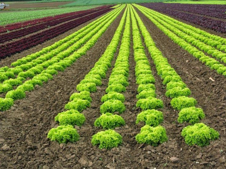 #tarım #ziraat #tohum Marul yetiştiricilik bilgilerini yazımızda bulabilirsiniz. http://www.intfarming.com/blog/marul-yetistiriciligi/