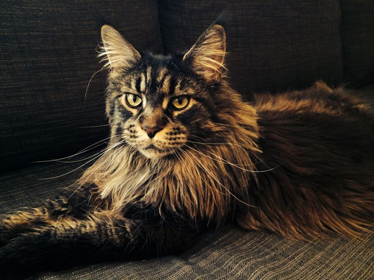 Maine Coon Tabby Cat Pictures
