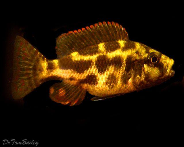 juvenile livingstonii cichlid cichlid fish pinterest