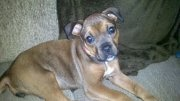 Bella Jane Staub!  A boxer/rottweiler mix!  An absolute lover!