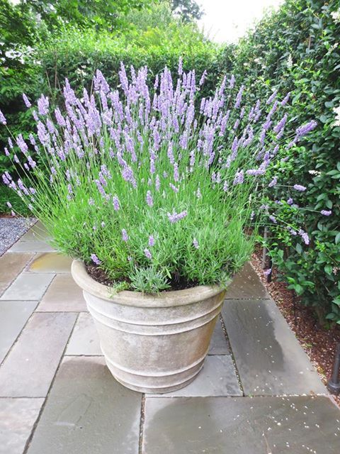 Potted lavender - Ina  Garten's home