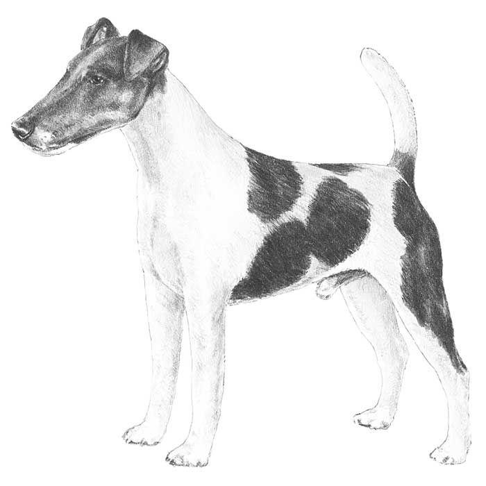 Smooth Fox Terrier breed standard illustration.