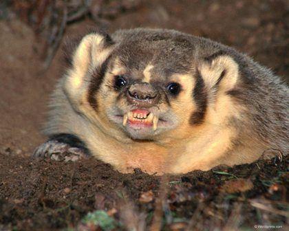 Texugo Texugos são animais de pernas curtas e atarracados, de pelagem castanha ou negra, carnívoros que pertencem à família dos mustelídeos. Existem oito espécies de texugo, divididos nestas três subfamílias: Melinae, Mellivorinae, e Taxideinae.
