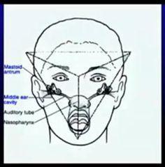 A pineal está localizada no meio do cérebro, na altura dos olhos. Ela é um órgão cronobiológico, um relógio interno. Como ela faz isso? C...