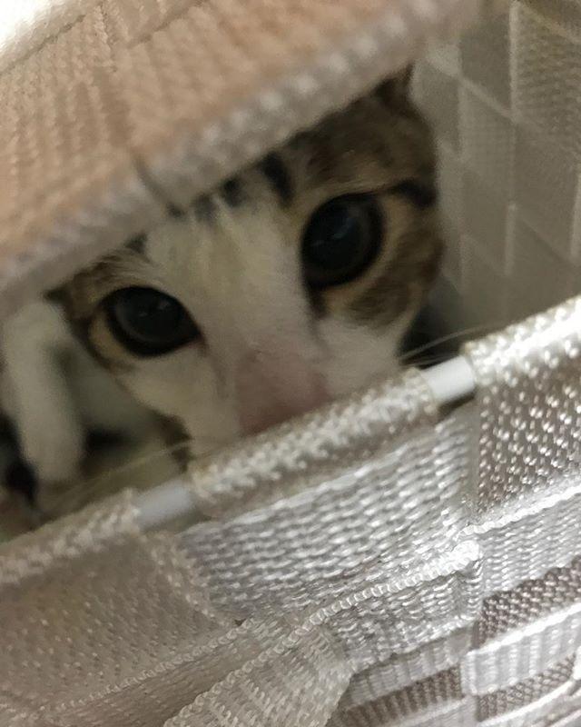 こてつ🐈 #小鉄 #虎徹 #小鐡 #愛猫 #かわいい #箱の中 #箱の中 #箱の中