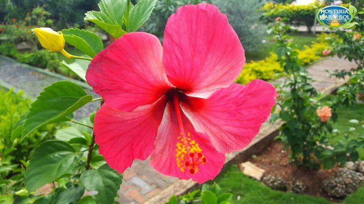 En nuestra #Hostería contamos con una variedad de flores y plantas. En esta oportunidad les presentamos una #Hibiscus , procedente de las regiones cálidas de Asia.  ¡En la #HosteríaMarySol amamos la naturaleza!  #felizSábado