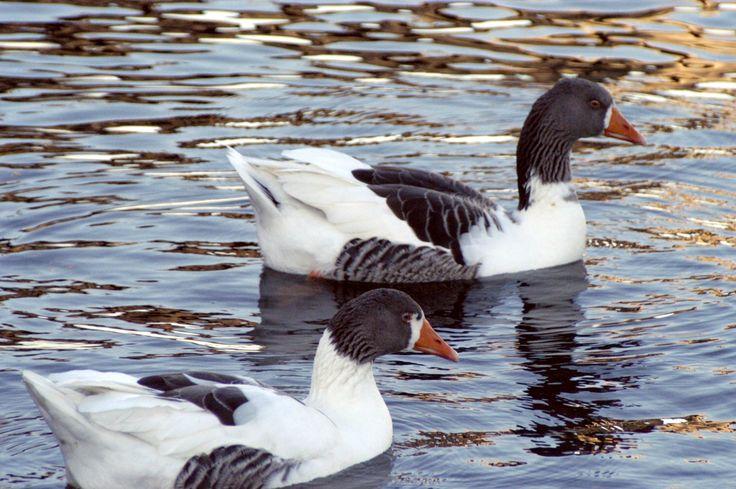 Domestic goose. February 2015.  Photo: Ann Christin Skogstad