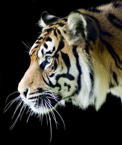 Sumatran Tiger Profile on Black by Steve Wilson - need to up my game