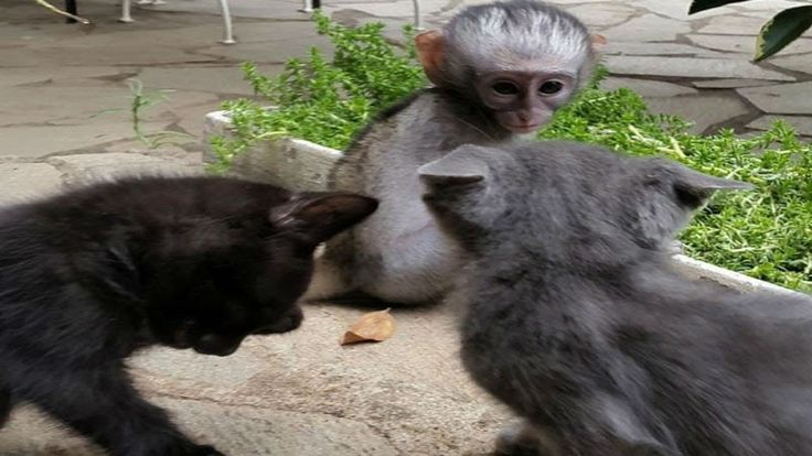Orphaned Baby Monkey Meets Two Tiny Kittens With The Most Surprising Results