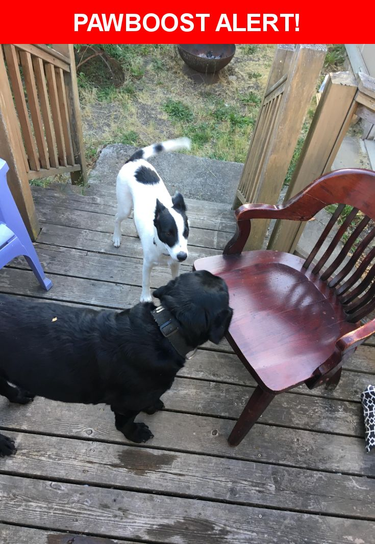 Is this your lost pet? Found in Salem, OR 97302. Please spread the word so we can find the owner!  Black lab and white and black spotted dog found together! Very friendly   Near Vista Ave SE & Bluff Ave SE