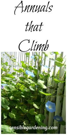 Annuals that climb with Sensible Gardening. Easy annual vines to grow.