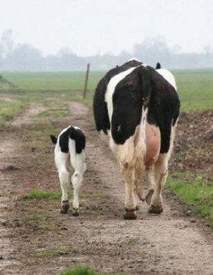 Why the dairy cow still has her calf? Not really sure...