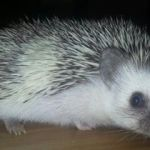 pinto pygmy hedgehog