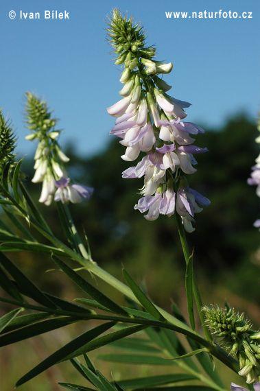Jestřabina lékařská (Galega officinalis)
