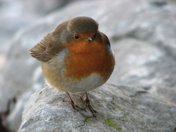 Robin in Galway