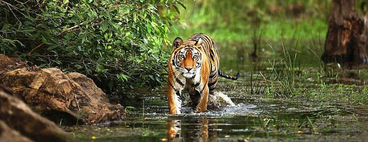 Experience a melange of flora and fauna at Bandhavgarh National Park located in the Umaria district of Madhya Pradesh. The park remains highly popular among wildlife enthusiasts as density of the tiger population here is one of the highest known in India.