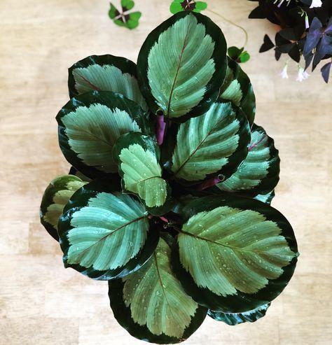Calathea roseopicta & # 39; Corona & # 39; #calath…