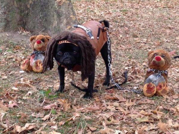 The Walking Pug: Michonne. #humor #risa #graciosas #chistosas #divertidas