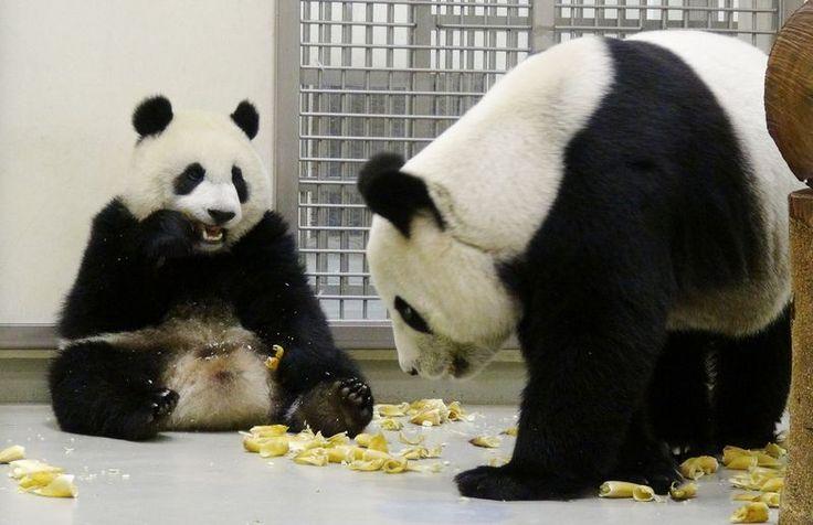 大貓熊寶寶「圓仔」現在最喜歡的是睡覺,其次就是美食。在每天例行訓練課程中,保育員也會運用食物,讓「圓仔」好好上課。