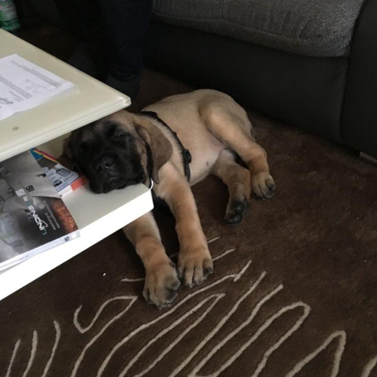 2 Monate alt.... englischer Mastiff Kira ...