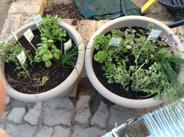 Two pots of herbs.