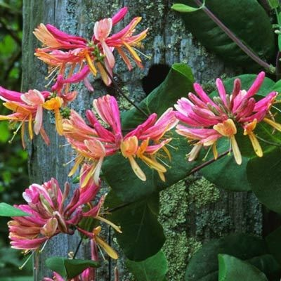 10 best images about honeysuckle on pinterest scarlet planters and shrub roses - Climbing plants that produce fragrant flowers ...