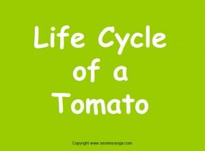 PowerPoint presentation on the life cycle of a tomato