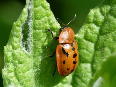 Fleabane Tortoise Beetle: a strict diet | Nature Notes from Dorset