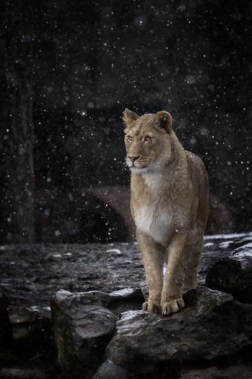 Lion in the snow. North America used to have giant lions (Panthera leo atrox), and sights like this probably wouldn't be uncommon.
