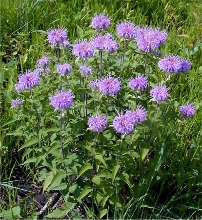 Learn about Wild Bergamot - Each year the Herb Society of ...