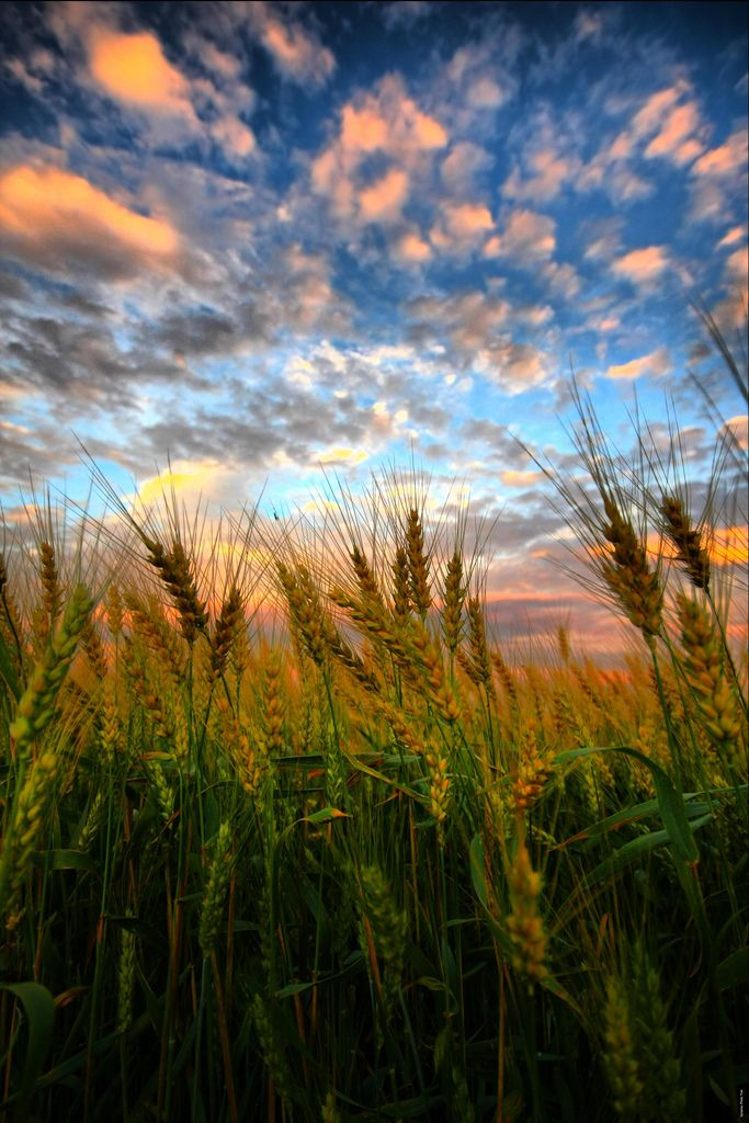 ~~Wheat Kings | sunset at the wheat fields, Maryhill, Ontario, Canada | by Paul Bruch~~