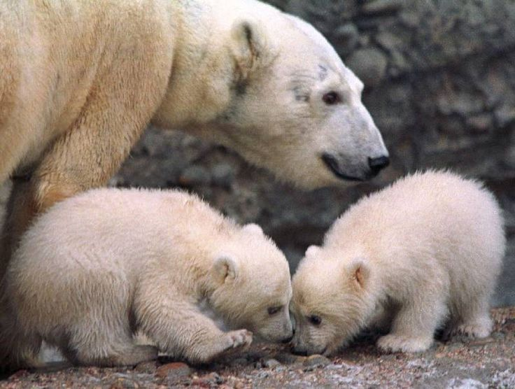 POLAR BEAR AND BABY TWIN (IJsbeer)