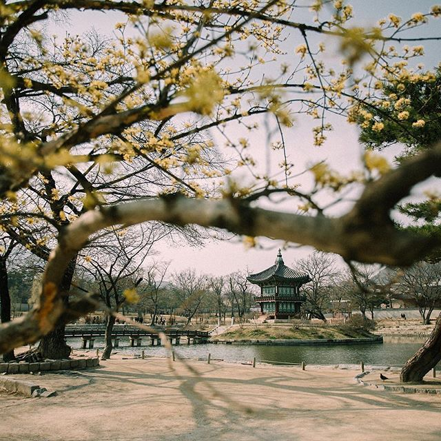 #봄꽃 삼총사 #서울시 방문 일정! #2016 Enjoy! #SpringFlowers in Seoul!! #photo by @_peppermint.b - #개나리 얼굴 빼꼼~ 내미는 날 : 3.27  #진달래 방긋방긋 피는 날 : 3.28 #벚꽃 꽃망울 터뜨리는 날 : 4.7 (핑크로 뭉게뭉게 벚꽃만개일 : 4.13) - #Forsythia Bloom Forecast : 3.27 #Azalea Bloom Forecast : 3.28  #CherryBlossom Bloom Forecast : 4.7 (Cherry blossom peak bloom date : 4.13)