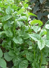 Ceylon Spinach. Syn. Malabar Spinach Attractive climbing vegetable, leaves are rich in vitamins, minerals and chlorophyll, eaten raw or cooked; perennial in the tropics. Suitable for subtropical and tropical areas