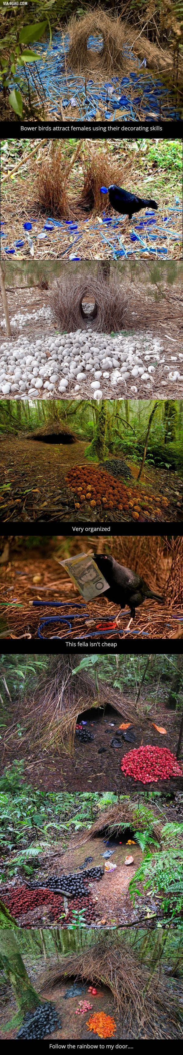 Bower Birds are Awesome – #awesome #Birds #Bower #pics