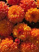 406024 - Chrysanthemum (Chrysanthemum indicum 'Dreamstar Balios')