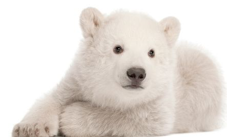 8 Facts about polar bears. International Polar Bear Day is Feb. 27, so this is good to know for upcoming years.