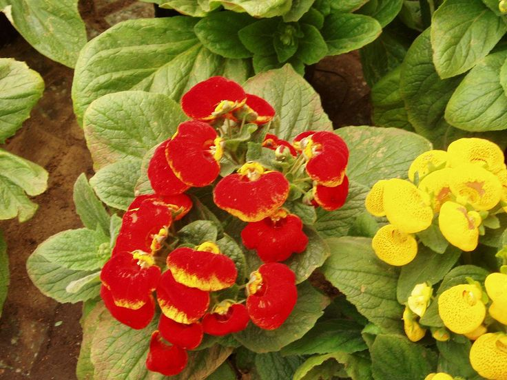 calceolaria herbeohybrida beautiful flowering houseplants but only last a month