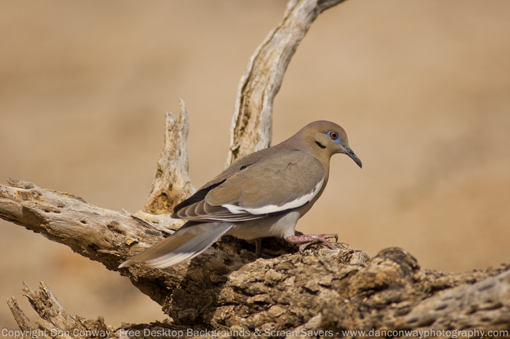 Migratory to Arizona - The White-winged Dove Can Be Seen Searching for Cactus Blossoms & Fruit During the Early to Late Monsoons In the Sonoran Desert.