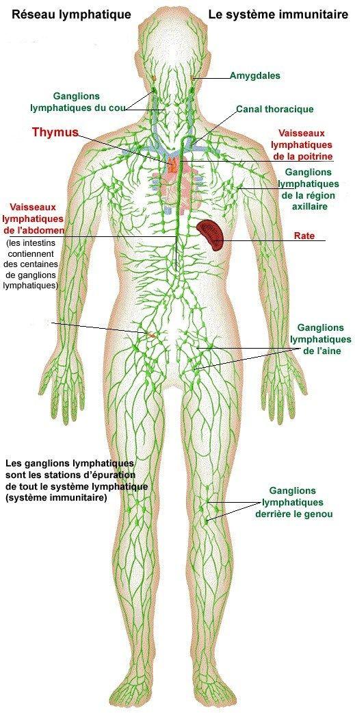 Réseau à sens unique, de vaisseaux lymphatiques qui naissent dans les différents tissus du corps pour rejoindre les ganglions et permettent la circulation et le nettoyage de la lymphe et dans une c…