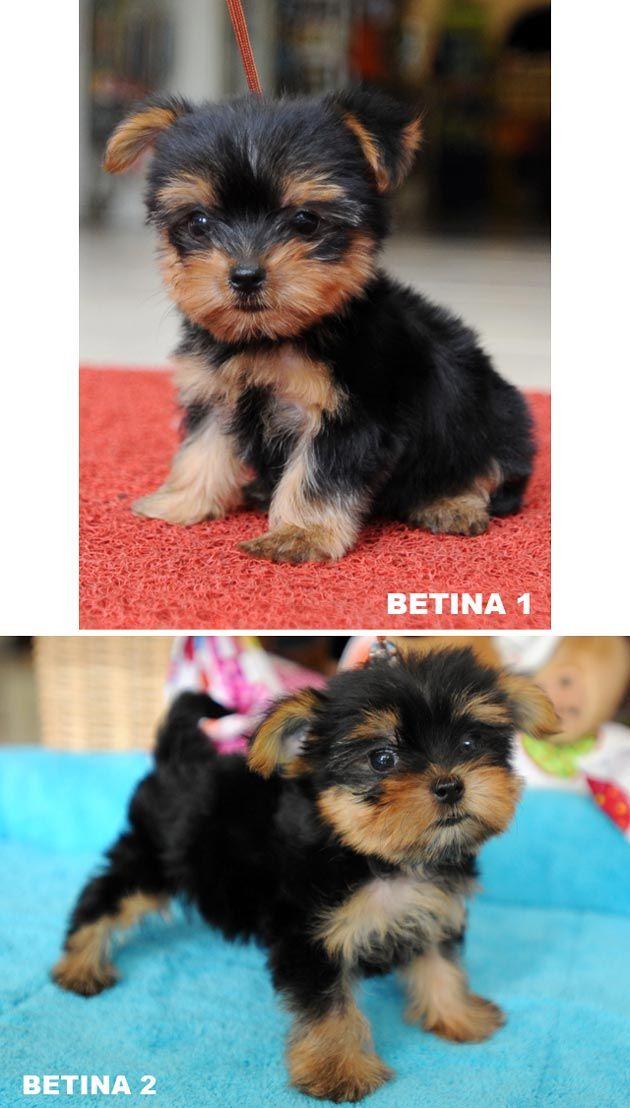 Jual Anjing Yorkshire Terrier Super Mini - Anjing Dijual - AnjingKita.Com  http://www.anjingkita.com/wmview.php?ArtID=21274