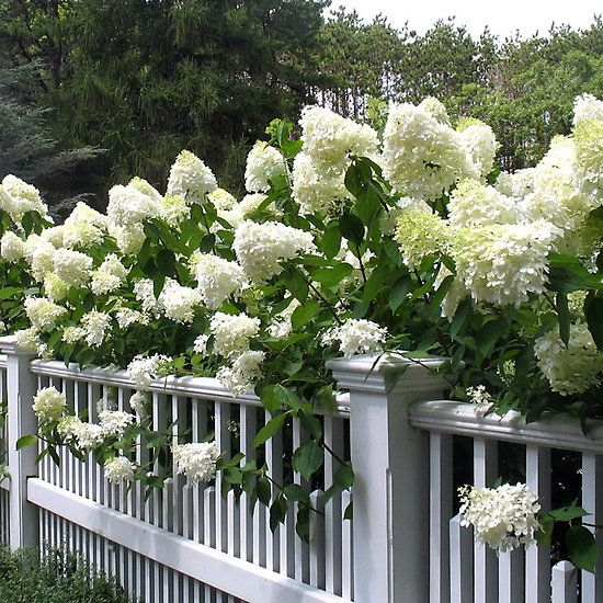 Marvellous The  Best Ideas About Limelight Hydrangea On Pinterest  With Interesting Heritage Gardens Limelight Hydrangeas With Delightful Cheap Places To Eat Covent Garden Also Sea Garden Egypt In Addition The Gardener Movie And Dobbies Garden Furniture Sale As Well As Estate Agents Covent Garden Additionally Flats To Rent Welwyn Garden City From Ukpinterestcom With   Interesting The  Best Ideas About Limelight Hydrangea On Pinterest  With Delightful Heritage Gardens Limelight Hydrangeas And Marvellous Cheap Places To Eat Covent Garden Also Sea Garden Egypt In Addition The Gardener Movie From Ukpinterestcom
