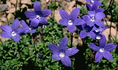 Royal Bluebell Wahlenbergia gloriosa  (plant family: Campanulaceae)  Floral Emblem of the Australian Capital Territory